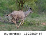A Young Greater Kudu Antelope...