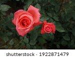 Orange Flower Of Rose 'super...