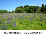 A Large Meadow Full Of Lupine...