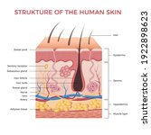 Skin Anatomy. Human Normal Skin ...