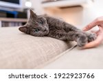 Small photo of Headshot of a spiteful gray cat with blue eyes lying on the sofa with the hand of the mistress stroking it. Concept of pet faithful friends of humans