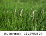 Alopecurus Myosuroides Grass In ...