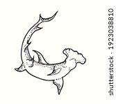 Great Hummerhead Shark  Bottom...