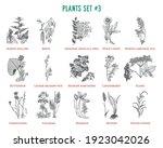 Vector hand drawn plants set. Vintage illustration. Retro collection with marsh-mallow, birch, butterbur, redhaw hawthorn, lingonberry, Elder, Cornflower, Valerian, Bistort and others