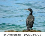 Portrait Of A Cormorant With...