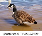 Canadian Goose Swimming On A...