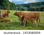 Cows In A Pasture In The Middle ...
