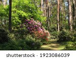 Rhododendron Bushes Bloom With...
