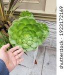 Small photo of Giant aeonium arboreum succulent juxtaposition.