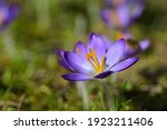 In Spring  Purple Crocus With...