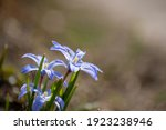 Close Up Of Purple Chionodoxa...