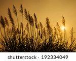 pampass grass at sunset...
