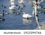 White Swans Swim On A Winter...