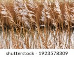 Backlit Waving Brown Reed With...