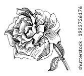 peony flower. floral botanical...   Shutterstock .eps vector #1923726176