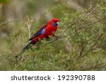 Parrot In The Forest  Crimson...