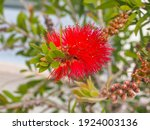 Bright Red Melaleuca Viminalis...
