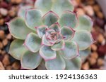 Small photo of Top closeup view on Echeveria Hercules, a low growing ornamental houseplant. The hybrid succulent has bluish-green leaves with beautiful pink margin and forming a rosette. Brown lava stone background.