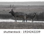 Milu Deer With Big Horns Also...
