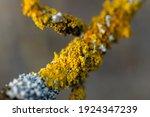 Orange Lichen  Yellow Scale ...