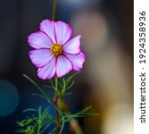 Garden Cosmos A Species Of...