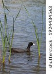 Eurasian Coot  Or Common Coot ...