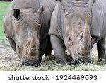 2 Black Rhinos Feast On Hay