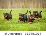 Stock photo four rottweiler puppies running 192451019
