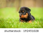Rottweiler Puppy Lying On The...