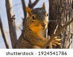 Eastern Fox Squirrel In A Tree.