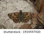 Close Up Of The Mallow Skipper  ...