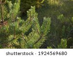 Austrian Pine Tree In Bloom