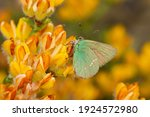 Green Hairstreak  Callophrys...