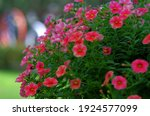 Petunia  Beautiful Flower...