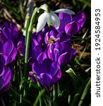 Purple Crocuses With Bees In An ...