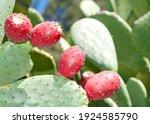 Close Up Of Prickly Pear Cactus ...