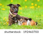 Stock photo american staffordshire terrier with little kittens and rabbits lying on the field with dandelions 192463703