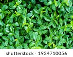 Catharanthus Roseus. Cape...