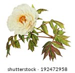 White Peony Flower Watercolor