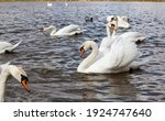 Group Of Swans In Spring ...