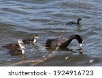 Eurasian Coot  Common Coot ...