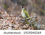 Green Woodpecker On The Tree...