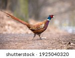 Male Common Pheasant In The...