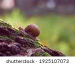 A Slow Grape Snail Crawls Up...