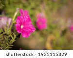 Petunia Flower With Morning ...