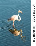 Portrait Of A Greater Flamingo  ...