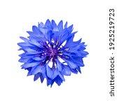 Close Up Of Blue Cornflower...
