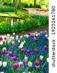 blue muscari and purple tulips...   Shutterstock . vector #1925261780
