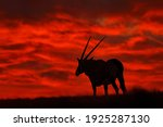 Oryx Red Sunset In Africa....