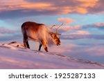 Caribou In Snow. Wild Reindeer...
